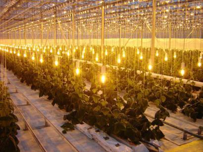 Лампы ДНАЗ в промышленных теплицах